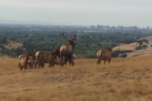 Tule elk graze within easy site of downtown San Jose.